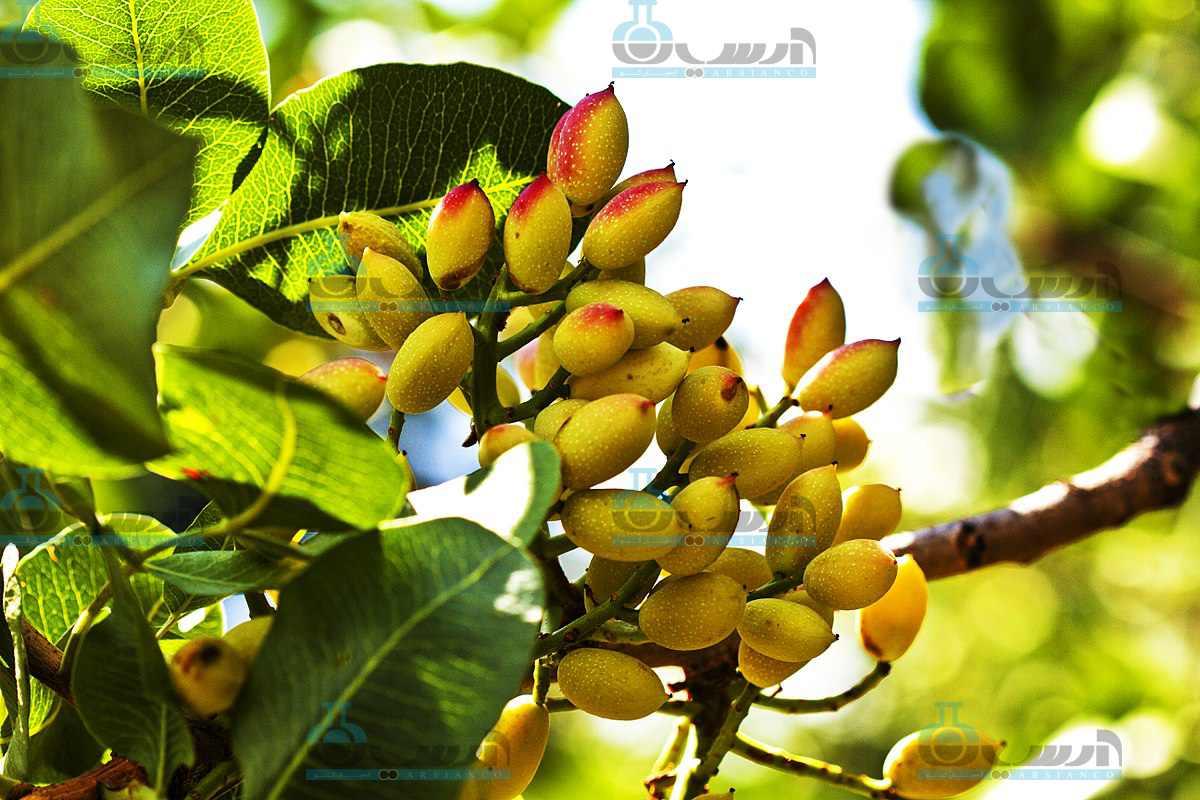 کاربرد و مصرف اسید سولفوریک در باغات پسته