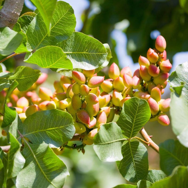 کاربرد اسید سولفوریک در باغات پسته